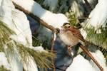 White-throated sparrow on winter white pine
