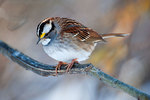 White -throated sparrow in winter