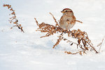 American tree sparrow foraging on winter weeds
