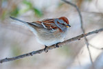 American tree sparrow
