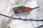 Fox sparrow in early January