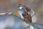 White-throated sparrow scratching
