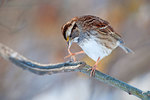 White-throated sparrow pedicure