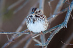 Song sparrow in underbrush