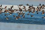 Brant flock and winter pond