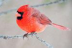 Northern cardinal, male