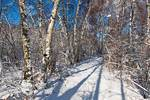 Birches and path in snow
