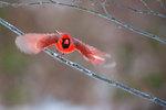 Northern cardinal flight--motion