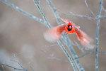Cardinal in flight--motion