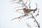 American tree sparrow gleaning goldenrod seeds