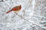 Female cardinal in winter landscape