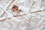 Fox sparrow in winter landscape