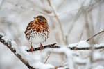 Fox sparrow in winter