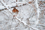 Fox sparrow in snowy woods