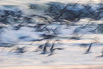 Black skimmer flight-intentional blur