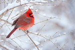 Male cardinal after snow fall