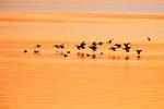 Bufflehead flock landing on golden bay