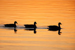 Trio of Canada geese in afterglow