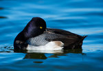 Lesser scaup resting on pond