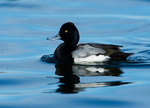 Lesser scaup swimming on pond