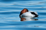 Drake canvasback at rest