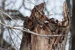 Great horned owl on nest after late March snow