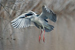 Adult black-crowned night heron about to land
