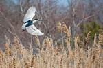 Adult black-crowned night heron over salt marsh