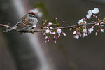 Chipping sparrow and cherry blossoms