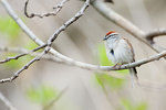 Chipping sparrow in early spring