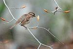 Savannah sparrow foraging on beach buds