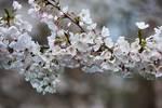 Flowering cherry in mid-April