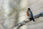 American robin in early spring