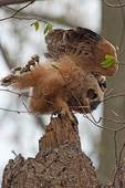 Great horned owl chick wingstretch