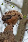 Great horned owl chick in late April