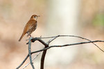 Veery in late April woods