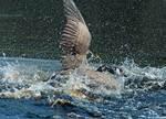 Canada goose, territorial battle