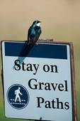 Tree swallow and sign