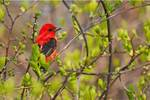 Scarlet tanager in early May