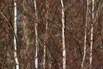 Gray birch in early spring