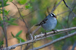 White crowned sparrow during spring migration