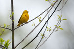 Yellow warbler sings in early May