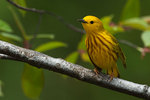 Male yellow warbler during spring migration