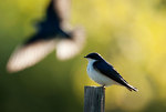 Tree swallows in early May