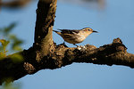 Black and white warbler, female