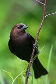 Male brown-headed cowbird in spring