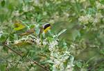 Common yellowthroat in blooming olive