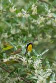 Common yellowthroat among olive blossoms