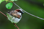 Male house sparrow in spring