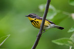 Magnolia warbler in May